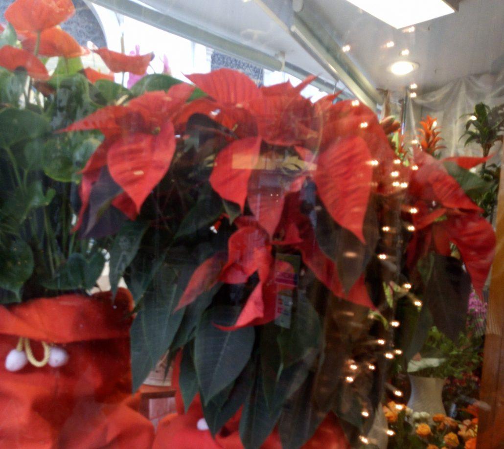 La Stella Di Natale Attenzione Ai Suoi Nomi Francesca Schaal